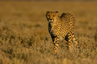 Cheetah adult approaching in early morning light