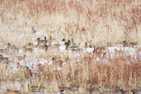 Ducks in the weeds