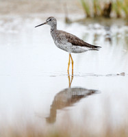 Greater yellowlegs (molting adult)