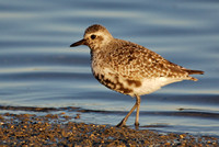 Black-bellied plover (molting adult)