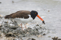 American Oystercatcher with extracted oyster