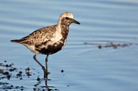 Black-bellied plover (breeding female)