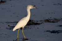 Little Blue Heron, Juvenile