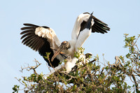 Wood Storks, pair-bond nesting