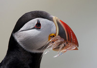 Puffin with shrimp