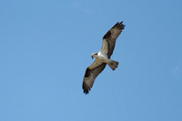 Osprey hunting for alewives