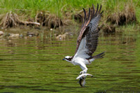 Osprey with two alewives!