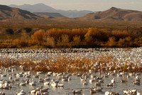 Snow geese resting and feeding in shallow water