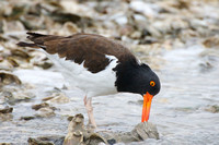 American Oystercatcher opening an oyster