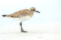 Black-bellied Plover Sanibel Beach 14Jan2015