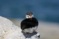 Puffin at rest