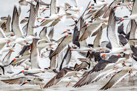 Conspiracy of Black Skimmers - Bunche Beach 15Jan2015