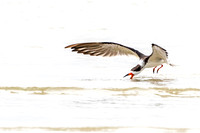 Black Skimmer - Bunche Beach 15Jan2015