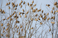 flock of mostly Bohemian waxwings