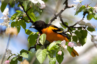 Orioles have long pointed bills for foraging in broadleaf trees