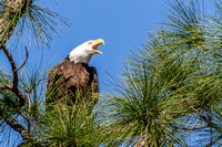 Bald Eagle screaming, N. Fort Myers 17Jan2015