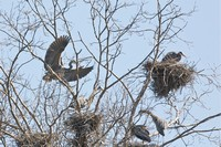 Four nests and five great blue herons