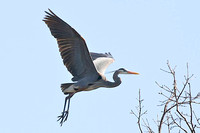 great blue heron approaches nest tree without twig