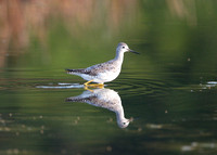 Lesser Yellowlegs (molting adult)
