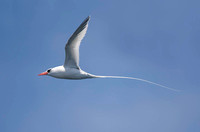 Red-billed tropicbird at Matinicus Rock