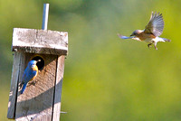 Eastern bluebirds (adult and juvenile)