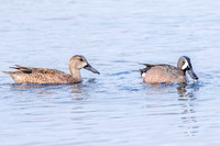 Blue-winged Teal - Ding 14Jan2015