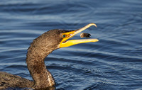 Double-crested Cormorant with prey