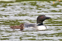 loon chick at two weeks
