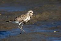 Black-bellied Plover calling