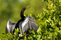Anhinga male, drying wing feathers