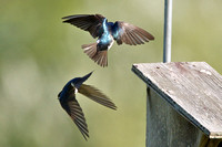 Tree swallows - aerial maneuvers