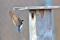 Tree swallow approaches nesting box