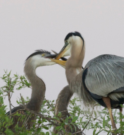 Great Blue Heron adult and two juveniles