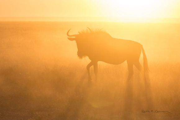 Young wildebeest in dust and morning light