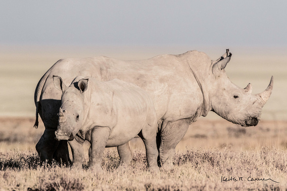 White rhino with youngster
