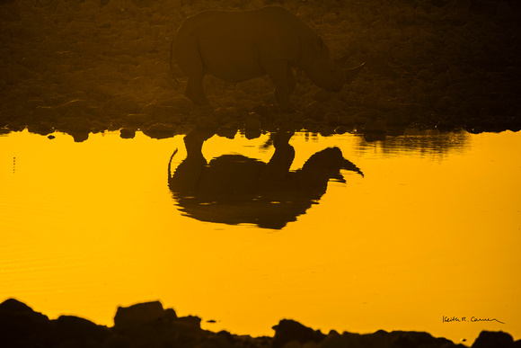 Black rhino silhouetted in a waterhole