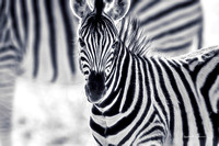 The aura of a zebra