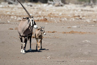Oryx adult and calf