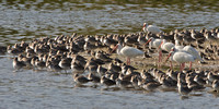 Shorebirds and White Ibis