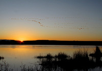 Snow geese and sunrise at the Bosque