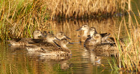 Blue-winged Teal hens