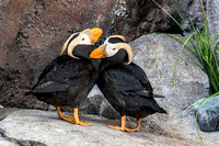 Tufted Puffin pair, Alaska Sealife Center