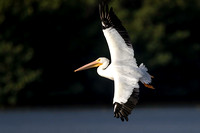 American White Pelican flight Ding 13Jan2015