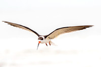 Black Skimmer - Bunche Beach 15Jan2015 copy