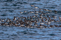 Raft of Common Murres, Resurrection Bay