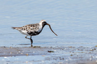 Black-bellied Plover with sea worm