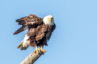 "Bald Eagle ""Harriet"", N. Fort Myers 17Jan2015"