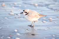 Snowy Plover - Sanibel beach 16Jan2015