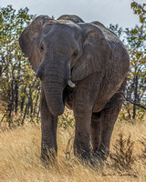 Elephant matriarch in the bush