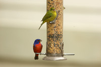 Painted Bunting male and female